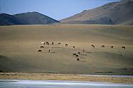 Mongolia. road from avrakaer to uyanga  Uyanga, ovokangai province     /   route de avrakaer a Shuranga  Uyanga , ovokangai province  Mongolie  /      L0009905  /     P119759/  troupeu chevaux/  horses