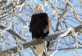 Wildlife: Bald Eagle, Alaska