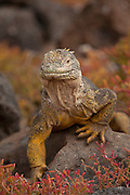 Male land Iguana (Conolophus subcristatus), surrounded by orange sesuvium plants (Sesuvium edmondstonei) on South Plaza Island. Galapagos Archipelago, Ecuador.