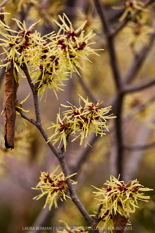The yellow ribbon-like flowers of Arnold Promise Witch Hazel appear in the late winter or early spring before the leaves appear.  (Hamamelis  x intermedia 'Arnold Promise').