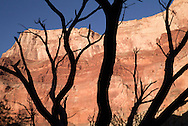 Graphic silhouette of trees against red canyon walls, Grand Canyon, AZ