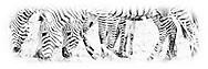 Plains Zebra<br />      Ngorongoro Crater, Tanzania