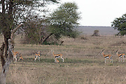 Cheetah hunting gazelle in East African habitat