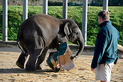 © Licensed to London News Pictures. 11/11/2010 Whipsnade UK..Christmas comes early for Whipsnade Zoo's young Asian elephants as they open giant gifts. One year old George ripped and trampled the presents stuffed with hay and festive treats to help get them in the Christmas spirit. Photo credit : Simon Jacobs/LNP