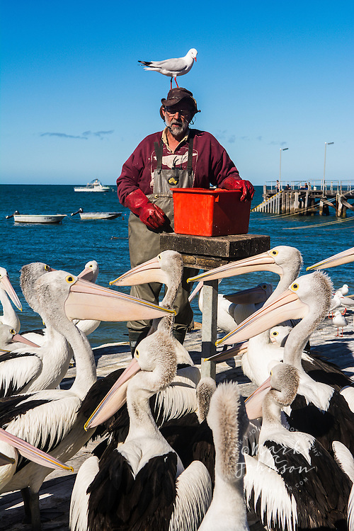 Australian Pelican feeding show, Kingscote, Kangaroo Island, South Australia