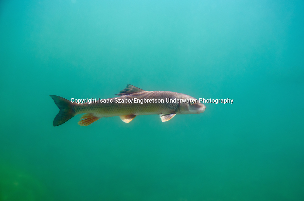 Black Redhorse Sucker<br /> <br /> Isaac Szabo/Engbretson Underwater Photography