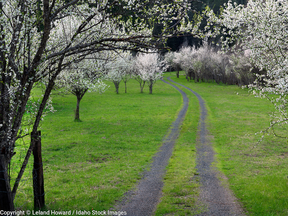 Idaho, central, Pacific Dogwoods in bloom