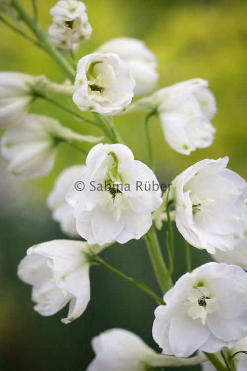 Delphinium hybrida 'Galahad' - Pacific Series