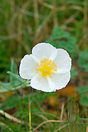 WHITE ROCK-ROSE Helianthemum apenninum (Cistaceae) Height to 40cm. Attractive, branched and spreading shrubby perennial. Found in dry, grassy places on limestone. FLOWERS are 2.5cm across with 5 crinkly, white petals (May-Jul). FRUITS are capsules. LEAVES are narrow-oval, downy white above and below, with inrolled margins. STATUS-Local, restricted to coastal areas of Devon and Somerset.