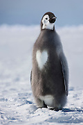 EXCLUSIVE PICTURE<br /> LOVE IN A COLD CLIMATE<br /> While most of us might wear our hearts on our sleeve, this little chap shows it off in just the right place. He's an Emperor penguin chick whose change of plumage into adulthood was brrrrrilliantly blessed by Mother Nature. The baby penguin is blissfully aware that not only is he the focus of a heart-warming image, but that he is also literally one in a million too. For award-winning photographer and wildlife film-maker Sue Flood says that in the 20 years she has been taking pictures in the Arctic and Antarctic, and on more than 30 trips to the frozen plains, she has never picked up such a penguin phenomenon.<br />     'It's the only one I have ever come across with a bib of this shape,' says Sue who has worked on some of the BBC's most successful natural history programmes including Blue Planet and Natural World. 'I took the picture at a time when Emperor penguin chicks are gaining their adult plumage and are a mix of grey baby down and 'penguin suit' colours. This one is one in a million and in all my time as a photographer, he's the only one I have seen with a bib of this shape. When I saw it, I just couldn't believe it.' Sue's many photographic awards include International Photographer of the year (Travel and Tourism). She was also one of eight finalists from around 20,000 entries for the International Photographer of the Year.<br />     Some of her amazing pictures have now been drawn together for her first book Cold Places, which is published later this month. It coincides with an exhibition - Cold Places: From Pole to Pole - of 50 of her photographs at London 's prestigious Getty Images Gallery.<br />  Says Sue: 'There are times when I question why I'm so drawn to the Poles – for instance, when camping in -40 degree temperatures, enduring the hardships of macho ice-breaker life or when my eyes won't open because my eyelashes have frozen together. But there is something magical about the light, the isola