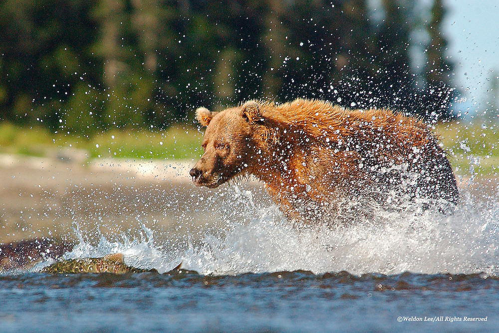 Brown Bear<br /> Lake Clark National Park, Alaska<br /> <br /> During one of many visits to Shelter Creek in Alaska&rsquo;s Lake Clark National Park, I happened to be in the right place at the right time and was able to capture the brown bear depicted in this limited edition photograph as it splashed water to-and-fro in pursuit of a spawning salmon. Needless to say, the bear enjoyed fresh sushi for lunch.<br /> <br /> Edition of 900