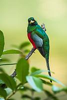 Narina Trogon, Kruger National Park, South Africa
