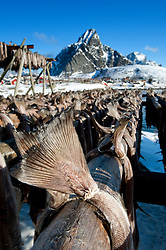 Drying cod to produce traditional stockfish on outdoor racks in Lofoten Islands in Norway