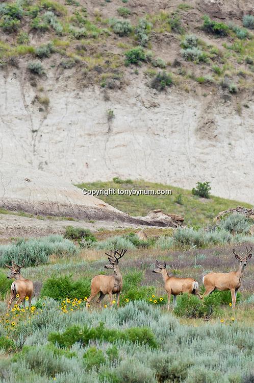 muledeer bucks in sage habitat eastern montana near dry arm fort peck lake