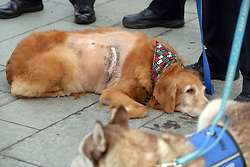 December 14, 2016 - Newport Beach, California, USA - Henry, a golden retriever, during an animal cruelty press conference in Newport Beach, California, December 14, 2016...Henry, a 7-year-old golden retriever suffering from a 42-pound malignant tumor, was abandoned at an animal hospital by his owner, who is accused of claiming she found the dog at a beach...The Newport Beach Police Department,  Animal Control, Orange County District Attorney's Office, Orange County Society for the Prevention of Cruelty to Animals (OCSPCA), and Supervisor Michelle Steel held a news conference tomorrow to discuss the consequences of animal cruelty and the resources available to citizens who find themselves unable to provide care for their pets due to various circumstances. ..(Photo by Jeff Gritchen, Orange County Register/SCNG) (Credit Image: © Jeff Gritchen/The Orange County Register via ZUMA Wire)