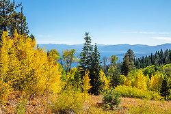 """Aspens Above Lake Tahoe 8"" - Photograph of yellow aspen trees in the Fall at a grove above Lake Tahoe."