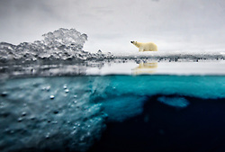 Polar bear (Ursus maritimus) in the pack ice in Svalbard, Norway