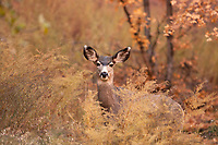 A fall Mule Deer doe stands in the oak brush in a small canyon.
