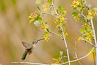 A Broad Tailed Hummingbird looks for nectar in the fresh blooming flowers.