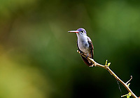 Violet-crowned Hummingbird (Amazilia violiceps) perched on a branch San Juan Cosala, Jalisco, Mexico