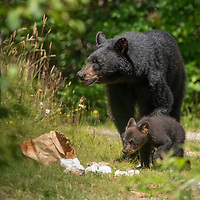 A female American black bear (Ursus americanus) and her young cub raiding a garbage bin in Nova Scotia, Canada. July 2018.