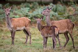 © Licensed to London News Pictures. 02/10/2016. London, UK. Deer are seen at first light in Richmond Park on Sunday morning. The deer are in rutting season, where they are mating are particularly aggressive towards each other. Photo credit : Tom Nicholson/LNP