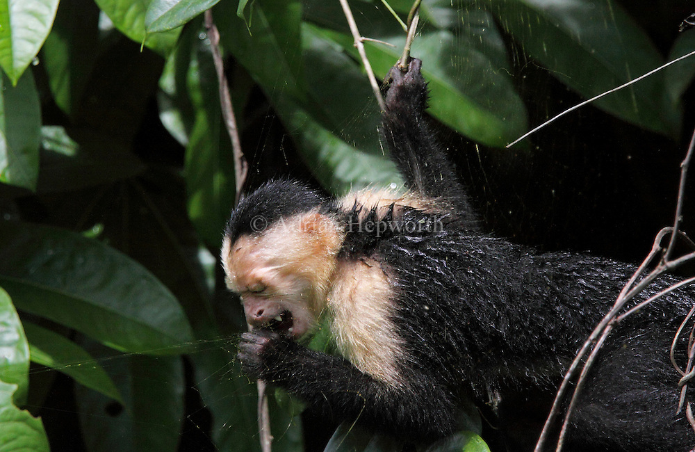 White-faced Capuchin Monkey (Cebus capucinus) eating a Golden Orb Spider (Nephila clavipes) from its web, Tortuguero National Park, Costa Rica. <br />