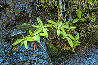 The common butterwort found growing on some wet rocks on the edge of a mountain stream high up in the Olympic Mountains below Hurricane Ridge in NW Washington. Look closely and you can just see the buds which in about a few weeks will extend out above the sticky leaves and produce a beautiful purple flower. These sticky leaves trap insects which the plant will dissolve and ingest as food. Look closer and you will see one mosquito already caught!