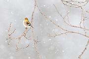 American Goldfinch, Carduelis tristis, male, winter, Metamora, Michigan