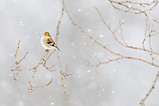 American Goldfinch, Carduelis tristis, male, winter, Metamora, Michigan