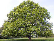 English oak tree in spring, Sutton, Suffolk, England