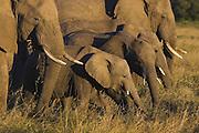 African Elephant <br /> Loxodonta africana<br /> Masai Mara Reserve, Kenya