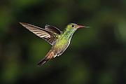 Rufous-tailed Hummingbird <br /> Amazilia tzacatl<br />  Northern Costa Rica, Central America