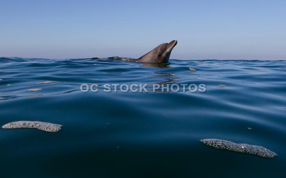 A Dolphin in the Ocean at Laguna Beach