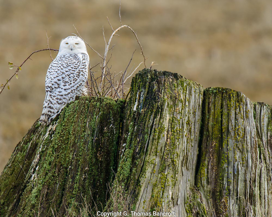 The Snowy Owl stood upright on the edge fo the stump, looking gradually from one side to another.  Its eyes partially closed and seemed to be just enjoying the morning.