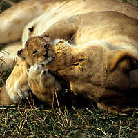 East Africa, Kenya. Mother lioness cares for cub