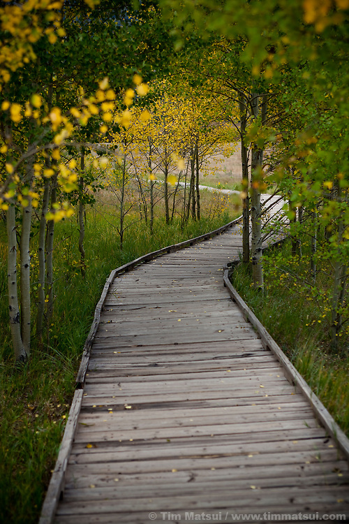 A footpath meanders through aspen trees in the fall.