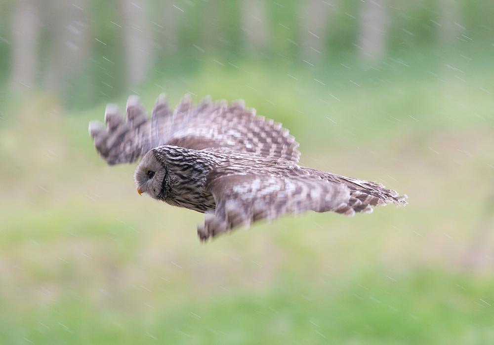 Ural owl (Strix uralensis) in flight, Bergslagen, Sweden.
