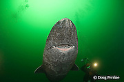 Greenland sleeper shark, Somniosus microcephalus, and photographer, St. Lawrence River estuary, Canada; eye of shark is infected with copepod parasite, Ommatokoita elongata MR 373