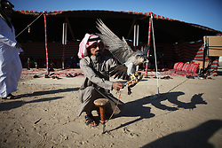 The owner of a Shaheen falcon ties it down in a waiting area before competitions later in the day.