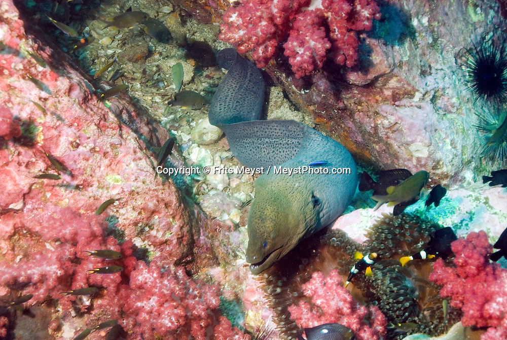 Surin Islands Marine National Park, Thailand, April 2007. A Moray Eel on the move.  The forested green Surin Islands boast some of Thailands best preserved coral reefs. The fact that they are in shallow water makes it a snorkelers paradise. Thousands of brightly colored fish can be seen going about their daily life. Photo by Frits Meyst/Adventure4ever.com