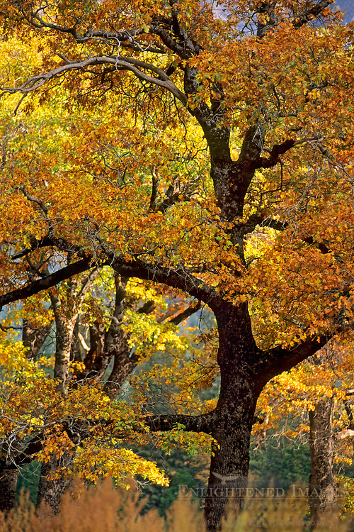 Oak tree in fall, Yosemite Valley, Yosemite National Park, California
