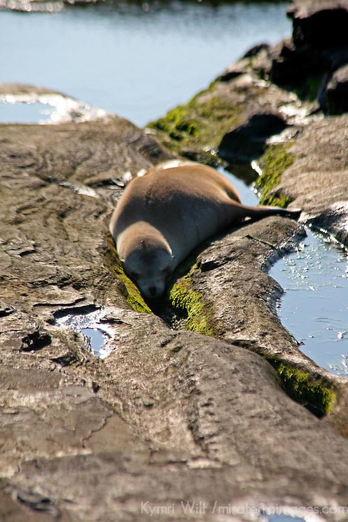 South America, Ecuador, Galapagos Islands, Santiago Island, James Island, Port Egas. A Fur Sea Lion nuzzles in a crevice.