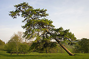 Leaning Conifer tree, Chedworth, Gloucestershire, United Kingdom RESERVED USE - NOT FOR DOWNLOAD -  FOR USE CONTACT TIM GRAHAM