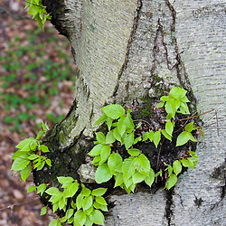 Leaves sprout from a beech tree in Northampton Massachusetts USA