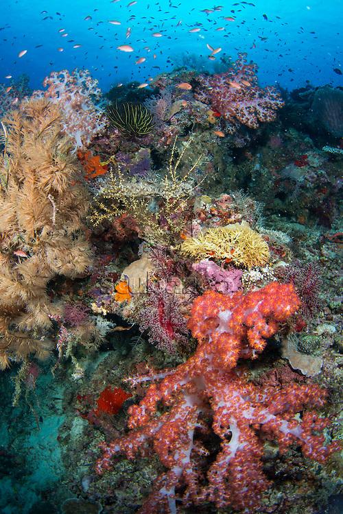 Anthias fish swimming above coral reef, Sipadan, Sabah, Malaysia
