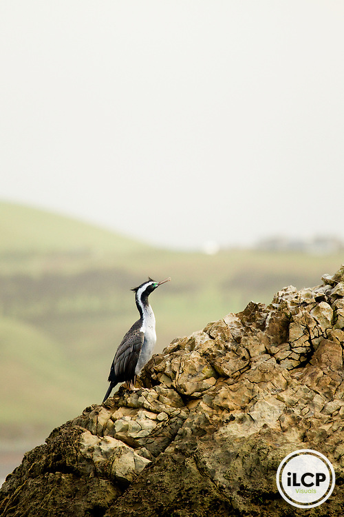 Spotted Shag (Phalacrocorax punctatus) in breeding plumage, Kaikoura, South Island, New Zealand