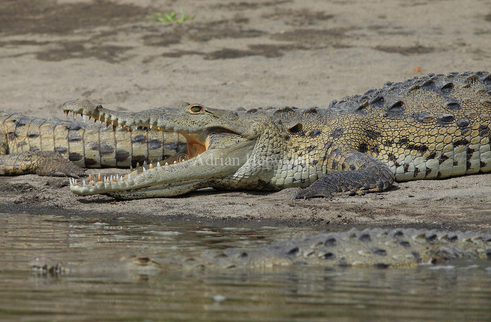 American Crocodile (Crocodylus acutus) gaping to cool body temperature.  River Tempisque, Guanacaste, Costa Rica. <br /> <br /> For pricing click on ADD TO CART (above). We accept payments via PayPal.