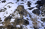 LADAKH, INDIA: Adult male snow leopard (unica unica) sits on snow covered rocks in Hemis National Park.