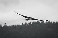 Osprey soaring above Puget Sound - B&W - Dash Point State Park - Federal Way, WA